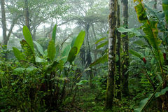 Misty, Dense, Lush Tropical Rain Forest in Costa Rica. Scene looking into a dense lush tropical rain forest on a misty day, in Costa Rica Stock Photography