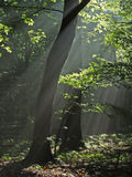 Misty early morning. In forest, summertime Royalty Free Stock Photo