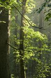 Misty early morning. Summertime, european mixed forest stock photography