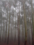 Misty eucalyptus tree forest Royalty Free Stock Image