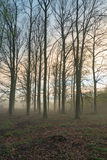 Misty evening. Beautiful forest in a misty evening Royalty Free Stock Photo