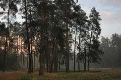 Misty evening forest Royalty Free Stock Photos