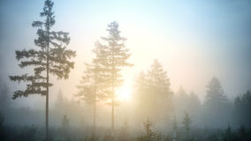 Misty fir forest with rising sun Stock Image