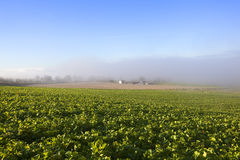 Misty fodder crops Royalty Free Stock Photography