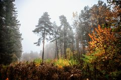 Misty fog forest in Belarus, golden autumn folliage. Misty fog forest on the sunrise morning in the autumn folliage stock photos