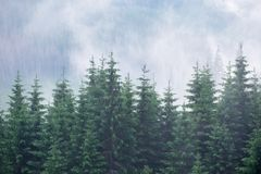 Free Misty Fog In Fir Forest On Mountain Slopes. Royalty Free Stock Photography - 101743357