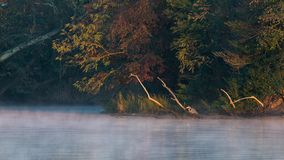 Great Blue Heron takes in the golden glow of sunrise. Misty fog over the river along with the soft golden light of sunrise highlight this fantastic natural Stock Photography