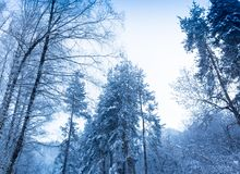 Misty fog in pine forest on mountain slopes. Color toning. royalty free stock photography