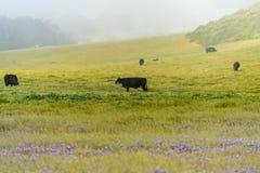 Misty Foggy Sunrise mit den Kühen, die auf dem Gebiet weiden lassen lizenzfreies stockbild