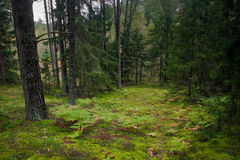 Misty forest. Misty pine tree forest, green moss Royalty Free Stock Images
