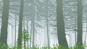 Misty forest. Temperate rain forest in mist Royalty Free Stock Photo
