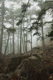 Misty forest. High pines among big stones Stock Photography