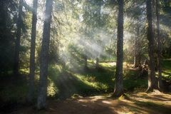 Misty forest. The sun's rays illuminate the misty forest Stock Image