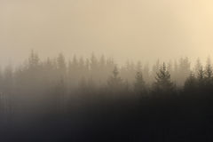 Misty forest. Misty silhouette of forest lit by early morning sun Stock Image