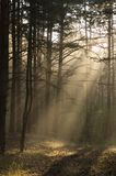 Misty forest. In an early autumn morning Royalty Free Stock Image
