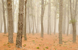 Misty forest. A mysterious foggy deserted forest Stock Images