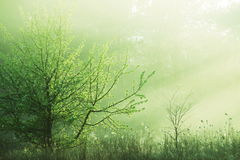 Misty forest. Magic morning forest of misty Stock Photos