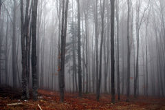 Misty forest in autumn. Photo of a foggy forest in autumn Stock Photos