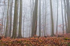Misty forest in the autumn with dry leaves in the ground Stock Photo