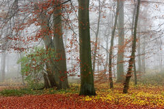 Misty forest in autumn Royalty Free Stock Photo