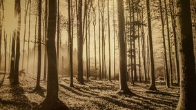 Misty forest background. Enchanted misty deep forest in sunset Stock Photos
