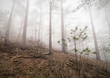 Misty forest. Beautiful misty forest on sky background Stock Photos