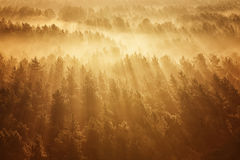 Misty forest in Belarus. Misty beech forest on the sunrise morning in the autumn Stock Photos