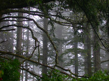 Misty Forest. In Cape Disappointment State Park, Washington Stock Photos