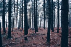 Misty forest. Royalty Free Stock Photo