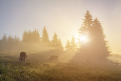 Misty forest with cows at dawn Stock Photos