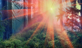 Misty forest. Stock Image