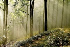 Misty forest with early morning sun rays Stock Photography