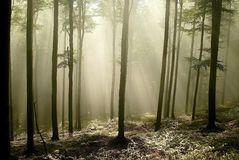 Misty forest with early morning sun rays stock photo
