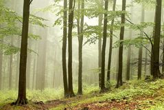 Misty forest with early morning sun rays royalty free stock photos