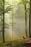 Misty forest with early morning sun rays stock images