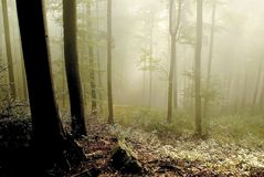 Misty forest with early morning sun rays royalty free stock image