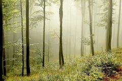 Misty forest with early morning sun rays Royalty Free Stock Images