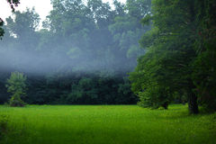 Misty forest in the evening. Mist in the forest in the evening, in summer Stock Photos