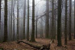 Misty forest with fog Royalty Free Stock Photos