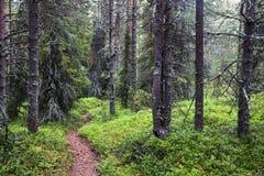 Misty forest on Kola peninsula Royalty Free Stock Photography