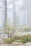 Misty forest landscape Royalty Free Stock Photos