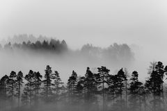 Misty forest. Moody monochrome image of forest covered in mist Royalty Free Stock Images