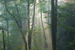 Misty forest at morning Stock Image