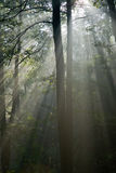 Misty forest at morning Royalty Free Stock Image