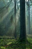 Misty forest at morning with spruce tree Stock Image