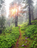 Misty forest in the mountains Stock Photos