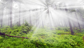 Misty forest in the mountains Royalty Free Stock Image