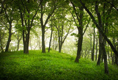 Misty forest, mystic landscape. Oaks, trees and mist, fog, green hill Royalty Free Stock Photography