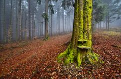 Misty Forest. Old mossy beech forest in a foggy Royalty Free Stock Photo