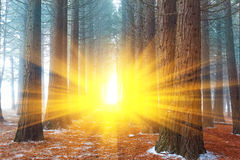 Misty forest in a rays of sun Stock Photo
